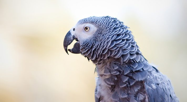 Red Baby African Grey
